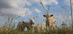 les vaches Bourgogne