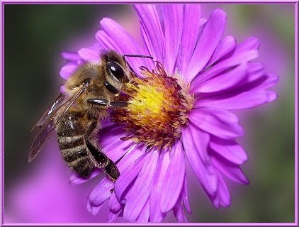 abeille-sur-fleur-daster