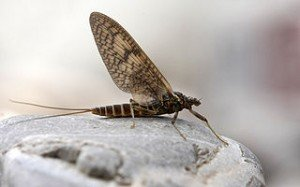 La mouche de Mai dans MOUCHE 320px-Ephemeroptera_2-300x187
