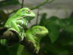 Grenouille légende en Inde dans GRENOUILLE grenouille