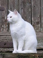 Chat blanc et le Québec dans CHAT