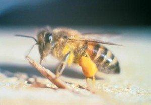 L'abeille et Napoléon dans ABEILLES guepe-abeile-300x208