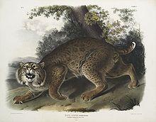 Morphologie et caractère du Lynx dans LYNX