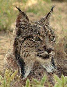 Le Lynx Ibérique dans LYNX 250px-Linces1-231x300