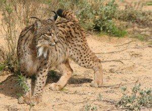 Attitude du Lynx dans LYNX Linces19-300x219