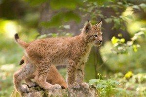 Cycle de vie des Lynx dans LYNX Lynx_lynx_cub_20050709-300x199