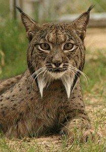 La présence actuelle du Lynx dans LYNX 220px-Linces10-210x300