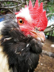 Secret de la Poule Noire dans POULE et COQ 220px-Salmon_Faverolle_rooster_close-up