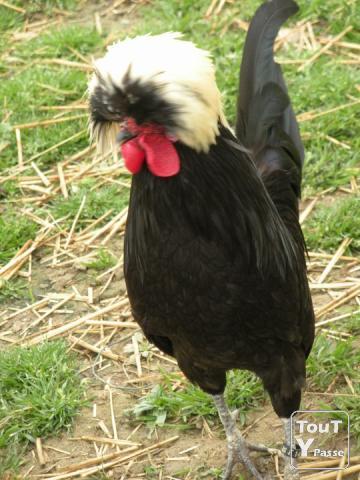 poule soie hollandaise