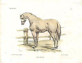 Semik le cheval blanc dans CHEVAL 280px-ChevalNavarrin