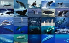 Le suicide des baleines dans BALEINE images