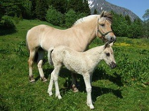 Message du peuple Chevaux 4 dans CHEVAL 320px-fjording_mother_and_daughter-300x225