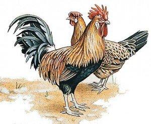 Coq et Poules... dans POULE et COQ coq_et_poule-300x247