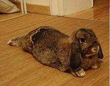 Domestication du lapin européen dans LAPIN - LIEVRE 220px-lapin-belier1