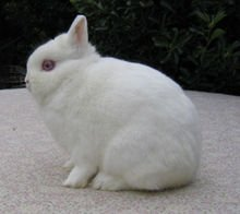 Reproduction du lapin en élevage dans LAPIN - LIEVRE 220px-ro_pool_gilberte