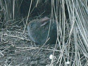 Le lapin domestique dans LAPIN - LIEVRE 290px-romerolagus_diazi_dispale_001
