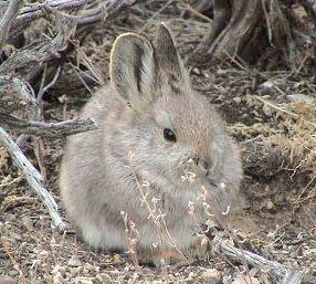 Variétés de lapins dans LAPIN - LIEVRE brachylagus_idahoensis