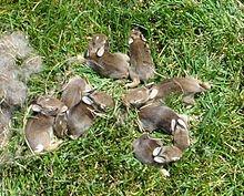 Alimentation du lapin dans LAPIN - LIEVRE lapin