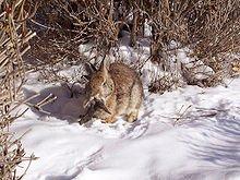 Le lapin... dans LAPIN - LIEVRE rabbit_shopes_papilloma_virus_31