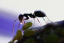 Fourmis de la création dans FOURMI 220px-ant_receives_honeydew_from_aphid
