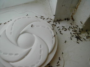 Invasion de la fourmi d'Argentine dans FOURMI argentine_ants_accessing_trap