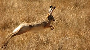 Le Lièvre des traditions dans LAPIN - LIEVRE ethiopian_highland_hare_lepus_starcki_running