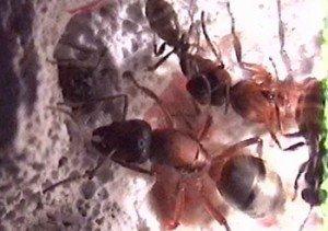 Fourmis et comportement collectif dans FOURMI fourmi4-300x211