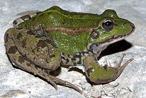 Symbolique de la grenouille dans GRENOUILLE grenouille