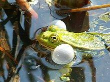 grenouille1 dans GRENOUILLE