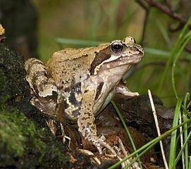 Phobie des batraciens dans GRENOUILLE grenouille2
