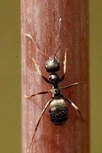 Fourmis, peuple intelligent dans FOURMI fourmi10-200x300