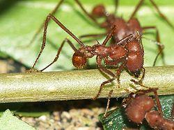 Les fourmis de la Sourate 27 dans FOURMI fourmis-sourate