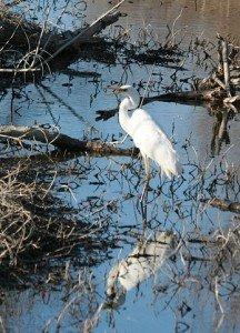 Le Héron Blanc dans HERON heron-blanc-216x300