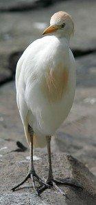 Héron Sauvage dans HERON heron_egret-140x300