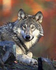 Les deux loups ! dans LOUP 180px-canis_lupus_laying