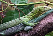 Le Varan dans LEZARD 180px-green.tree_.monitor.lizard.arp_