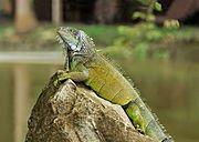 Femme lézard Maya dans LEZARD 180px-iguana_iguana_portoviejo_04