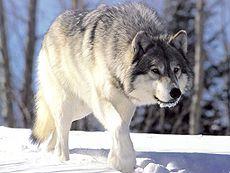 La légende du Loup blanc ! dans LOUP 230px-canis_lupus_265b