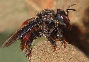 La santé au chevet des abeilles dans ABEILLES abeille-300x210