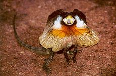 Lézard ou dragon dans LEZARD chlamydosaurus_kingii