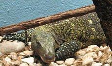 Varan crocodile dans LEZARD crocmonitor