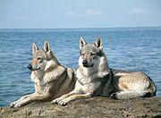 czechoslovakian_wolfdog_pair dans LOUP