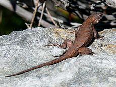 eastern_fence_lizard-27527-1 dans LEZARD