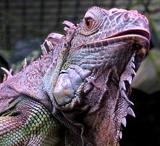 iguana_iguana_close_up_small