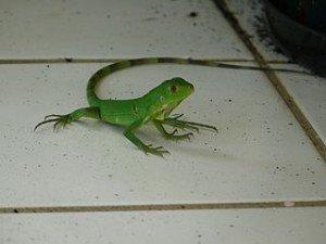 Iguane dans LEZARD iguane-300x225