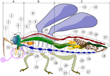 220px-robal dans LIBELLULE