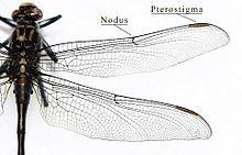 Les ailes de Libellules dans LIBELLULE aile-libellule