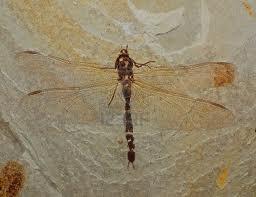 Etude des fossiles de Libellules dans LIBELLULE fossile