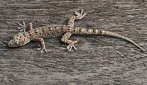 Les geckos dans LEZARD gek_