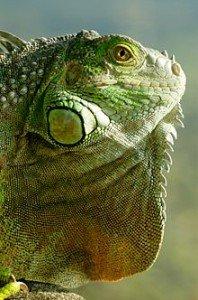 L'Iguane Vert dans LEZARD iguane-198x300